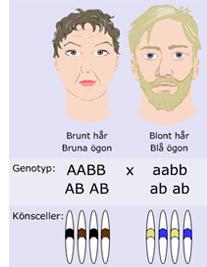 Vad heter det kemiska ämne som bär på arvet